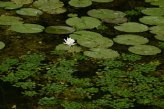 Água-lírio branco Imagens de Stock
