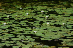 Água-lírio branco Foto de Stock