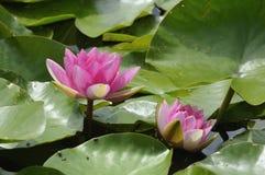 Água-lírio cor-de-rosa Fotos de Stock Royalty Free