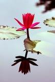 Água-lírio e sua reflexão Fotos de Stock Royalty Free