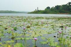 Água-lírios no lago com paisagem fotos de stock