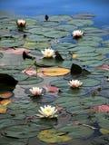 Água-lírios no lago sangrado, Slovenia Foto de Stock