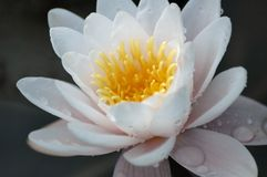 Água Lilly. Fotografia de Stock Royalty Free