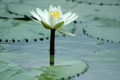 Água Lilly. Fotos de Stock Royalty Free