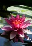 Água lilly imagem de stock royalty free