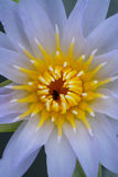 Água lilly Fotos de Stock Royalty Free