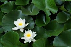 Água lilly Fotografia de Stock Royalty Free