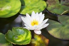 Água lilly Foto de Stock