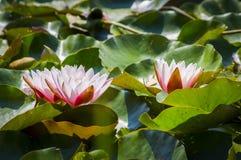 Água lilly Imagens de Stock Royalty Free