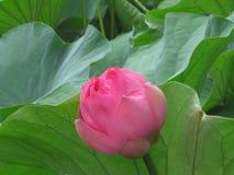 Água Lily Bud Fotos de Stock Royalty Free