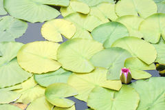 Água Lily Bud Imagem de Stock Royalty Free