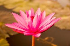 Água Lily Flower imagem de stock royalty free