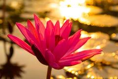 Água Lily Flower fotos de stock