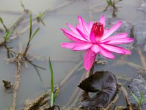 Água Lily Flower fotografia de stock royalty free