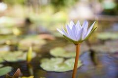 Água Lily Flower imagem de stock