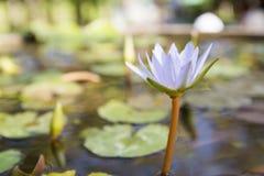 Água Lily Flower fotografia de stock