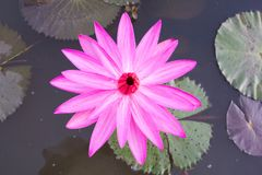 Água Lily Flower foto de stock