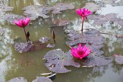 Água Lily Flower foto de stock royalty free