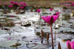 Água Lily Flower fotos de stock royalty free
