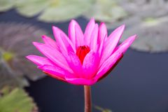 Água Lily Flower imagens de stock royalty free