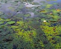 Água Lily Pad e Duck Weed Garden fotografia de stock