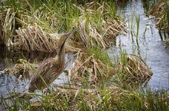 Água-mãe americana Imagem de Stock Royalty Free