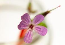 Água molhada de do único da flor selvagem do rosa da candelária fim cor-de-rosa pequeno acima fotos de stock