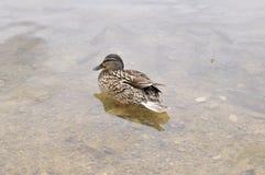 Água, pássaro, pato Peixes sob a ?gua foto de stock