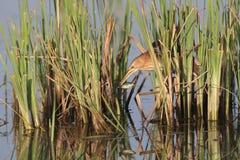 Água--pescador pequeno afortunado na luz macia da manhã Foto de Stock