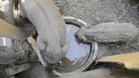 Água potável da família dos porcos da bacia na jarda de exploração agrícola rural, alimentação leitão vietnamiana nova no pátio t filme