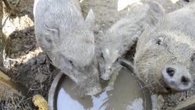 Água potável da família dos porcos da bacia na jarda de exploração agrícola rural, alimentação leitão vietnamiana nova no pátio t vídeos de arquivo