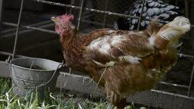 Água potável da galinha da bacia Alimentação das galinhas na jarda de exploração agrícola rural do thraditional Criação de animai vídeos de arquivo