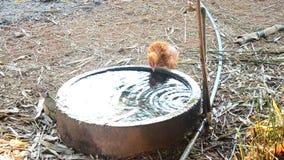 Água potável da galinha do tanque do cimento filme