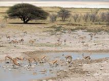 Água potável da gazela na associação quase seca Foto de Stock Royalty Free