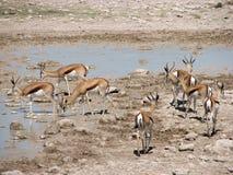 Água potável da gazela na associação quase seca Fotos de Stock Royalty Free