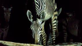 Água potável da zebra na noite fotos de stock royalty free