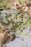 Água potável das abelhas, mellifera dos Apis imagens de stock