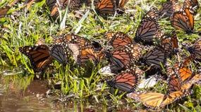 Água potável das borboletas de monarca imagens de stock