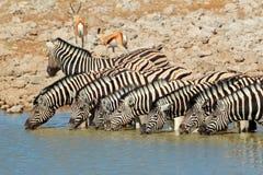 Água potável das zebras das planícies Fotografia de Stock