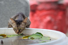 Água potável do gato Foto de Stock Royalty Free