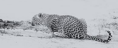 Água potável do leopardo da associação pequena após ter caçado o co artístico Imagens de Stock Royalty Free