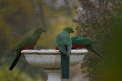 Água potável do rei Parrots de um banho do pássaro durante uma seca em um quintal rural foto de stock royalty free