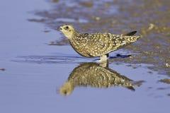 Água potável do sandgrouse de Namaqua Foto de Stock