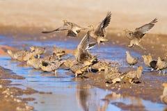 Água potável do sandgrouse de Namaqua Imagens de Stock