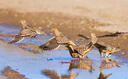 Água potável do sandgrouse de Namaqua Imagens de Stock Royalty Free
