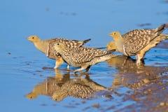 Água potável do sandgrouse de Namaqua Fotografia de Stock