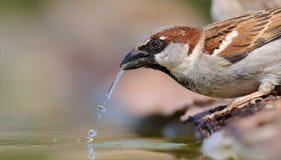 Água potável masculina do pardal de casa foto de stock royalty free