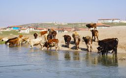 Água potável sedento das vacas do rio fotos de stock