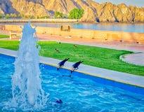 Água potável sedento dos corvos Foto de Stock