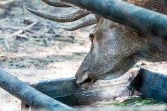 Água potável selvagem dos cervos, olhando suspiciosly, no parque zoológico imagem de stock royalty free